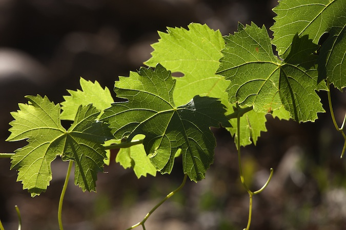 foglie-viti